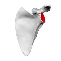 glenoid cavity