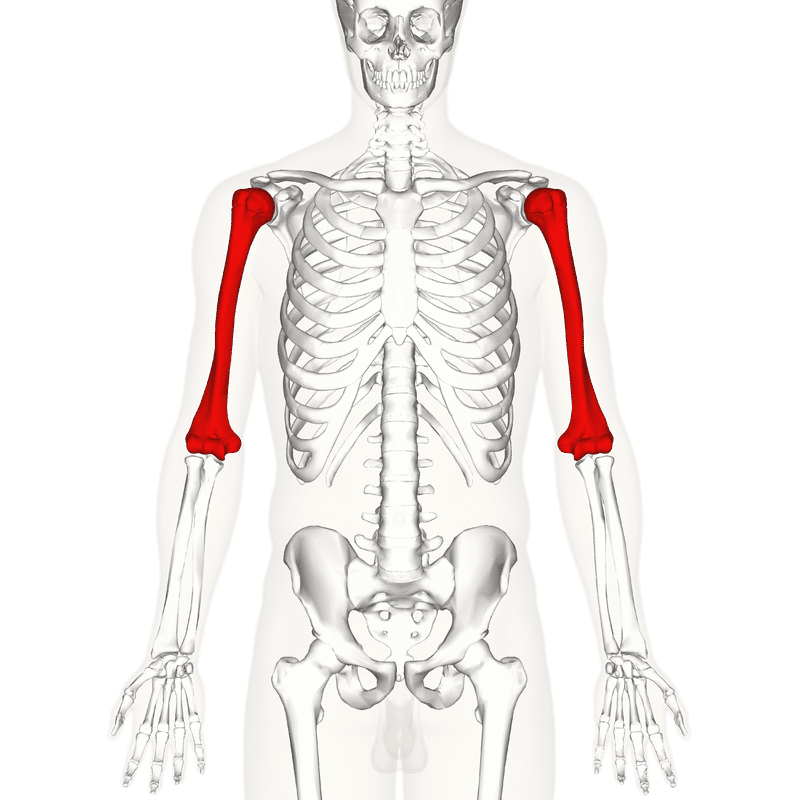 Xương cánh tay trên (the humerus)