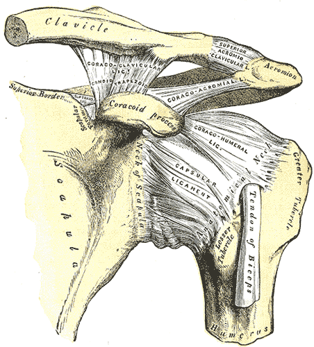 Khớp acromioclavicular