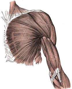 Nhóm cơ ngực lớn